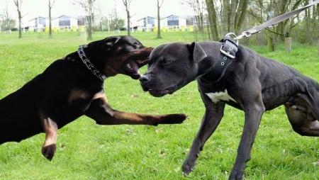 Este mai periculos un Rottweiler decat un Pitbull?